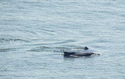 Dolphins spotted along Mumbai coast earlier than usual this year