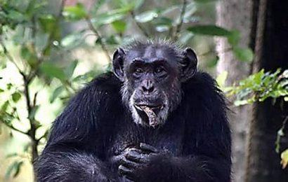 Zoo chimpanzee dies of heart attack