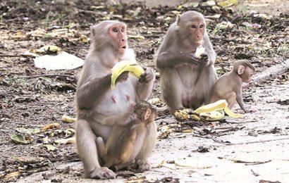 Monkeys terrorise village in Maharashtra, damage crops & homes