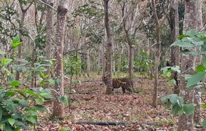 Tiger now moves to Bandipur