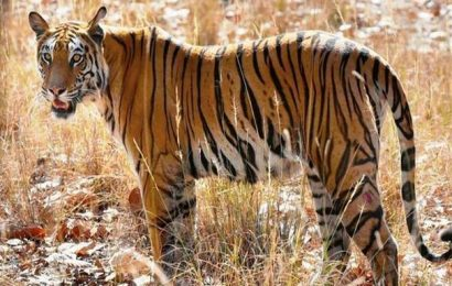 Bombay High Court denies relief for tiger poacher