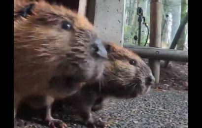 These beavers are the best 'branch managers' and tweeple agree. Watch