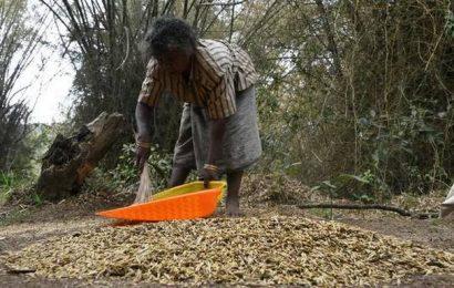 "Adivasi communities harvest ""bamboo rice"" in Mudumalai"