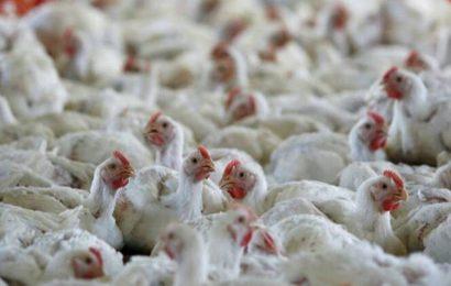 Avian flu detected in Himachal, Chandigarh dept drags feet on matter