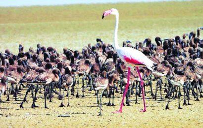 Great Rann of Kutch: 60k lesser flamingo chicks emerge from new nesting ground