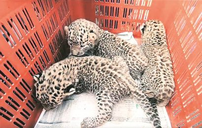 Three-year-old leopard rescued from jaw trap in Shirur