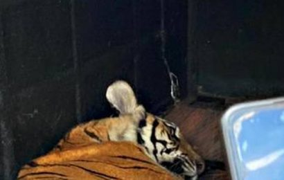 Tigress, which killed 2 in Kodagu, caught