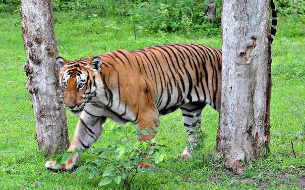 Human-tiger conflict in Kodagu: Should tigers be translocated?