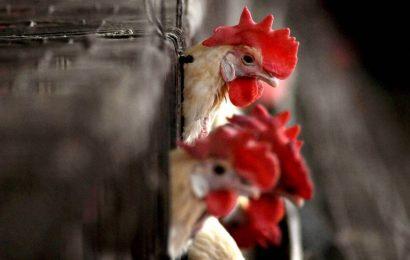 BIRD FLU: HC asks Nandurbar authorities to consider all aspects before taking 'drastic' steps of culling birds