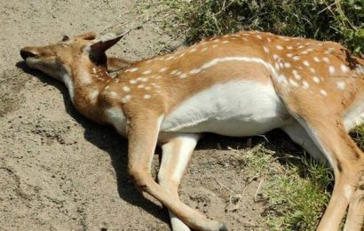 Spotted deer fatally knocked down