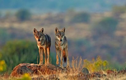 Documentary film Treasures of Grasslands highlights the lesser-known Indian Wolf