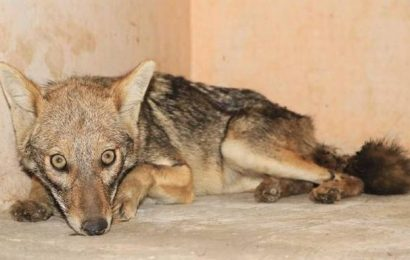 Three-year-old female golden jackal rescued from Pune's Junnar tehsil