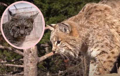 Man Throws Bobcat Across The Yard After It Attacks His Wife – Watch The WILD Video HERE!