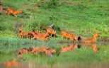 Wayanad sanctuary a haven for Asiatic wild dog