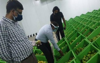 South Korea to get its first taste of A.P.'s Banganapalle mangoes
