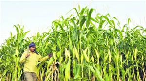 Punjab to miss crop diversification target again this year