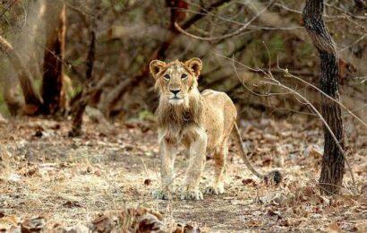 Asiatic Lion run over by train in Gujarat