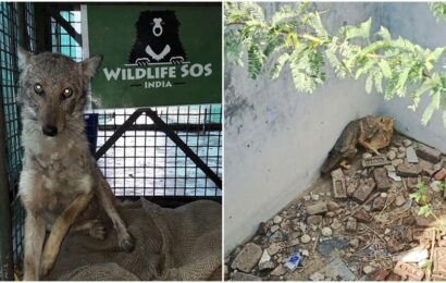 Delhi: Golden jackal rescued from dried-up well at Chhatarpur