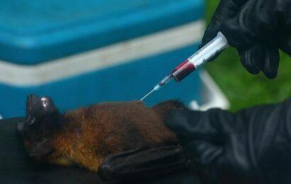 Nipah antibodies found in bat samples in Kozhikode